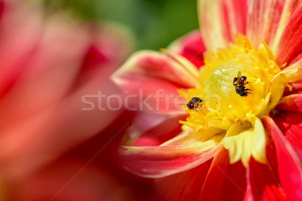 Pszczół patrząc nektar dwa żółty Zdjęcia stock © Yongkiet