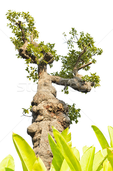 Exotic tree isolated on white Stock photo © Yongkiet