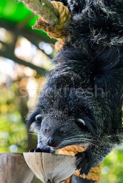 Asian Bearcat - Arctictis Binturong Stock photo © Yongkiet