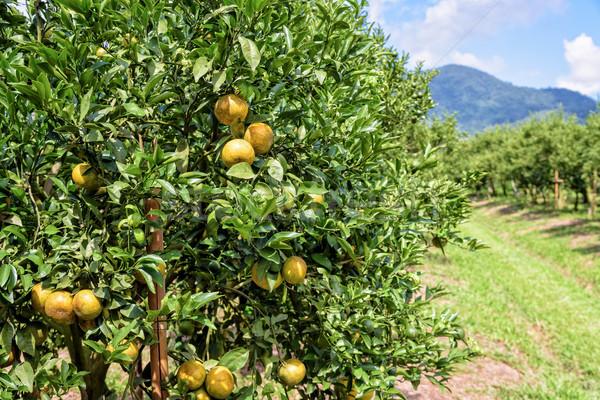 Orange orchard in Thailand Stock photo © Yongkiet