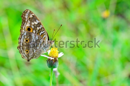 Lemon Pansy, Close up of a brown butterfly Stock photo © Yongkiet
