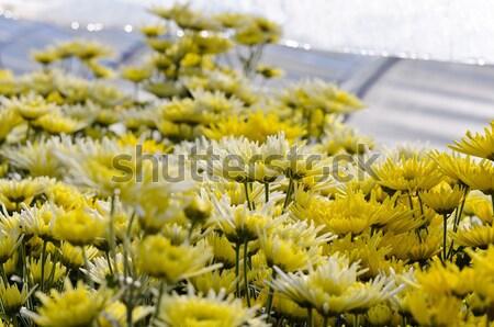 Krizantém virágok kert hegy természet levél Stock fotó © Yongkiet