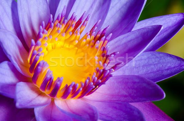 Stock photo: Colorful of purple Lotus