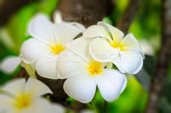Fiore bianco bella gruppo fiore albero tropicali Foto d'archivio © Yongkiet