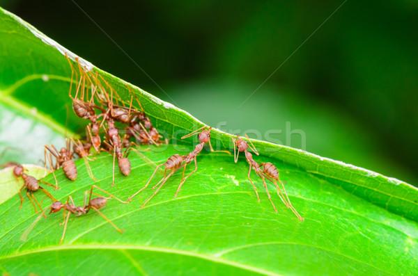 Hormigas verde edificio nido Tailandia Foto stock © Yongkiet