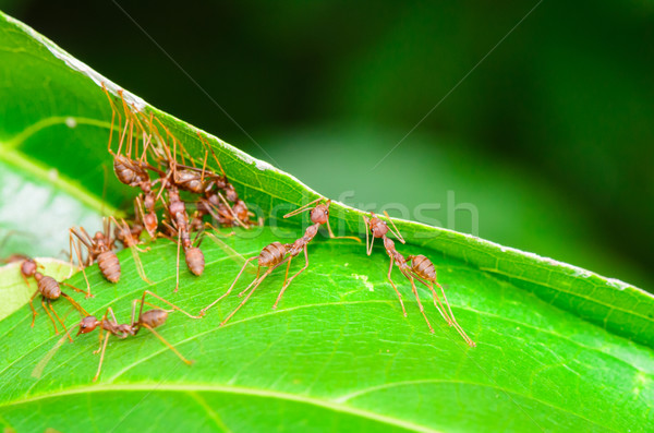 Fourmis vert bâtiment nid Thaïlande Photo stock © Yongkiet