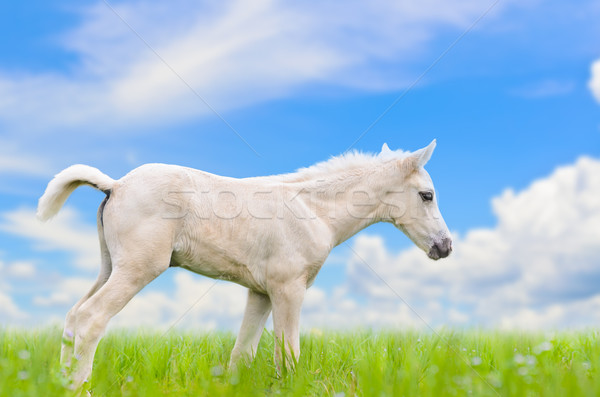 Stock photo: White horse foal in grass on sky background