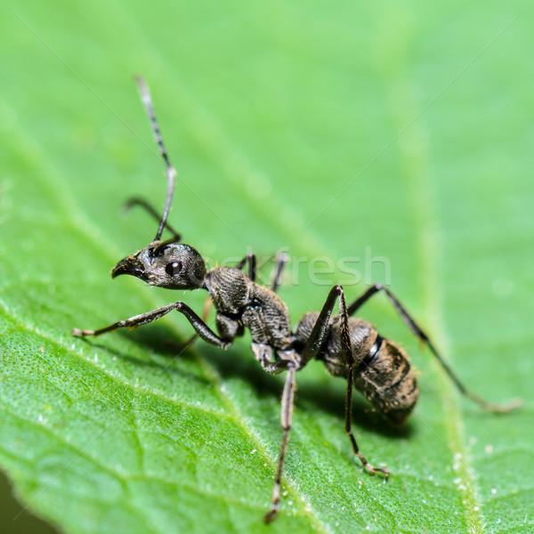 Black Carpenter Ant (Camponotus pennsylvanicus) Stock photo © Yongkiet