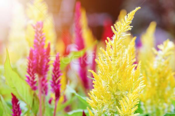 Celosia Argentea flower Stock photo © Yongkiet
