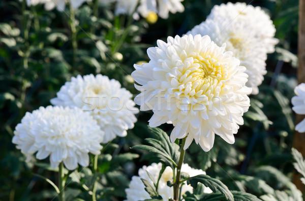 White Chrysanthemum Morifolium flowers in garden Stock photo © Yongkiet
