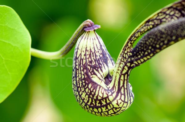 Egzotikus virág alakú ahogy tyúk közelkép Stock fotó © Yongkiet