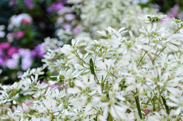Bella fiore bianco esotiche giardino foglia impianto Foto d'archivio © Yongkiet