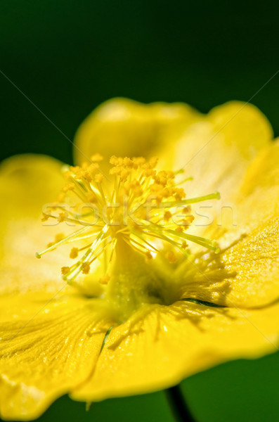 Faible jaune pollen fleurs indian Photo stock © Yongkiet