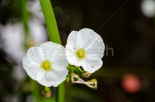 White flower of Creeping Burhead Stock photo © Yongkiet