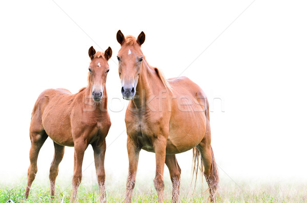 Brown mare and foal on white background Stock photo © Yongkiet