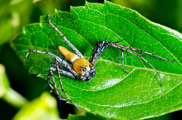 Yellow Lynx Spider  ( Oxyopes Quadrifasciatus ) Stock photo © Yongkiet