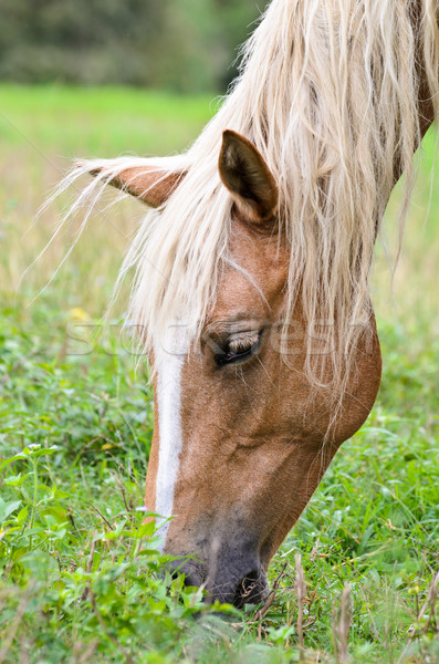 Close-up face of the horse Stock photo © Yongkiet
