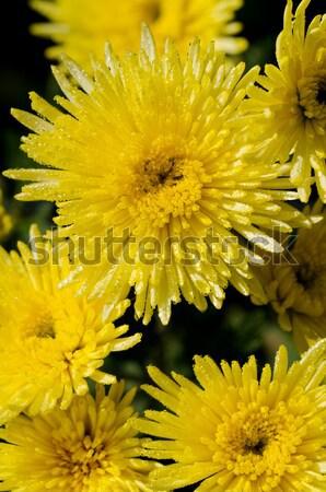 Sarı krizantem çiçekler ağaç üst Stok fotoğraf © Yongkiet