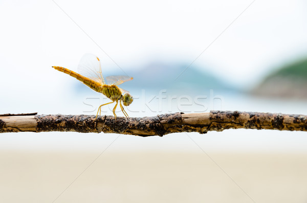 Jaune libellule monde branche plage nature Photo stock © Yongkiet