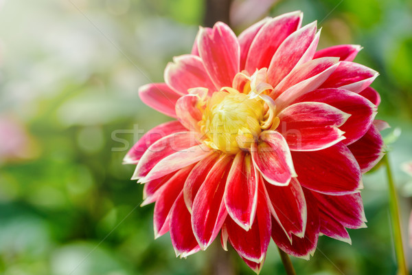 Dahlia hybride fleur belle rouge jaune Photo stock © Yongkiet
