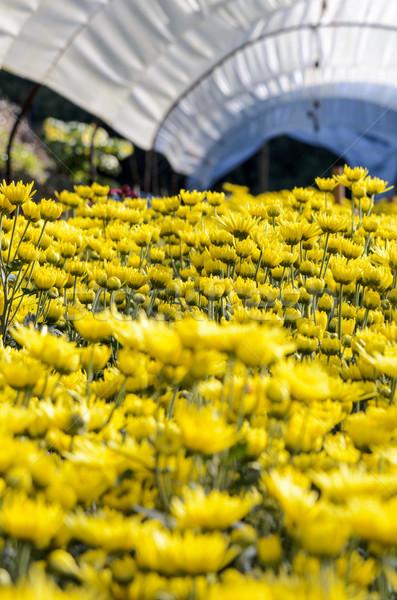 Inside greenhouse of yellow Chrysanthemum flowers farms Stock photo © Yongkiet