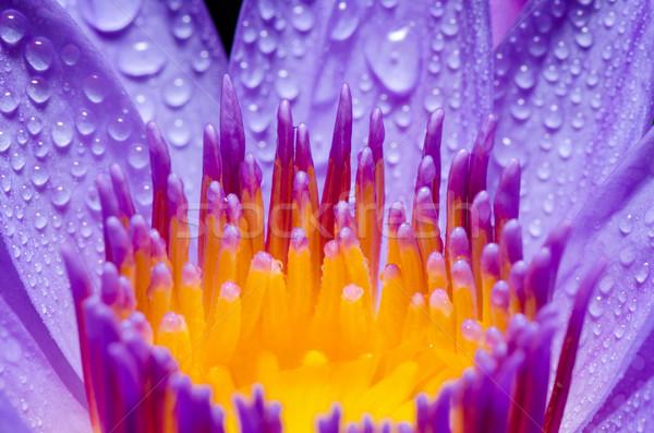 Macro yellow carpel of purple Lotus flower Stock photo © Yongkiet