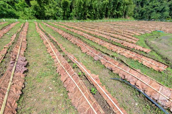 Strawberry plantation in Thailand Stock photo © Yongkiet