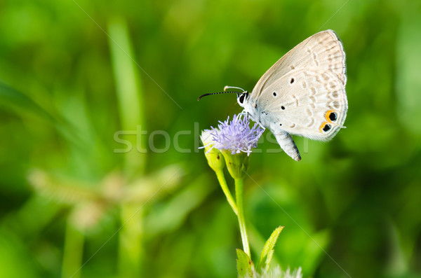 Cycad Blue or Plains Cupid butterfly ( Chilades pandava) Stock photo © Yongkiet