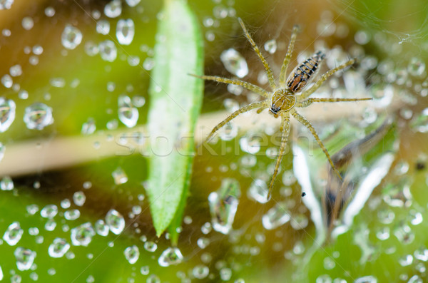 Lawn Wolf Spider (Hippasa holmerae) Stock photo © Yongkiet