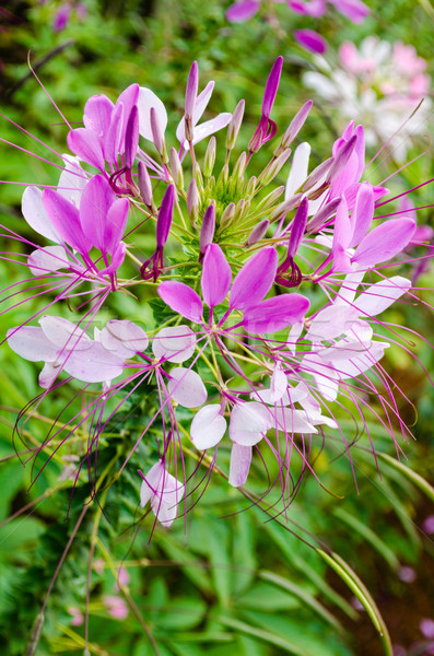 Multi-colored Cleome (spider flower) in garden Stock photo © Yongkiet