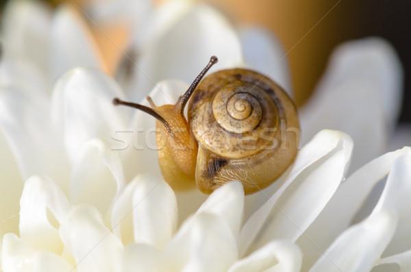 Snail on white flower Stock photo © Yongkiet