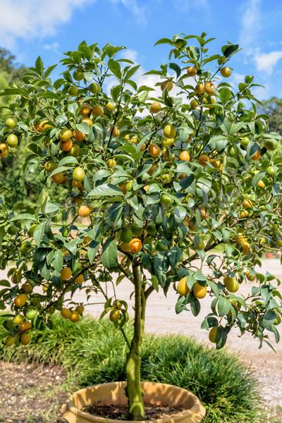Foto stock: Fruto · de · laranja · árvore · laranja · frutas · oval · folhas · verdes