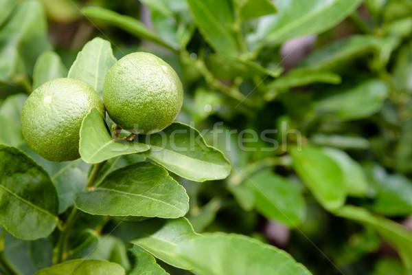 Two green lemons on the tree Stock photo © Yongkiet