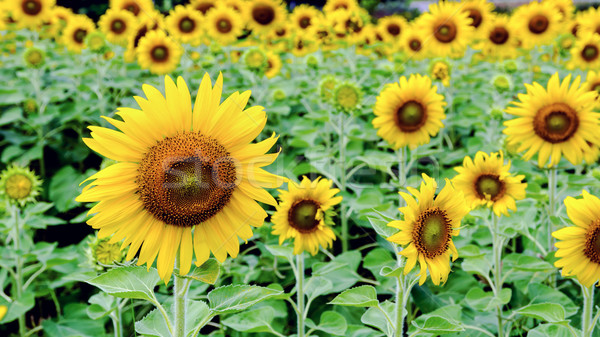 Sunflower or Helianthus Annuus Stock photo © Yongkiet
