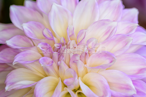 Dahlia hybride fleur belle pourpre Photo stock © Yongkiet