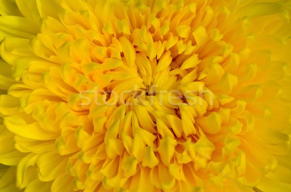 Közelkép citromsárga krizantém virág felső központ Stock fotó © Yongkiet