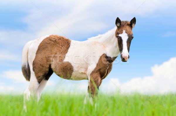 Genç atlar kahverengi gökyüzü çayır mavi gökyüzü Stok fotoğraf © Yongkiet