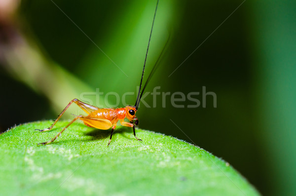 Conocephalus Melas tiny red young Cricket Stock photo © Yongkiet