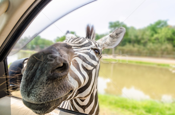 Zebra in the tourists car Stock photo © Yongkiet