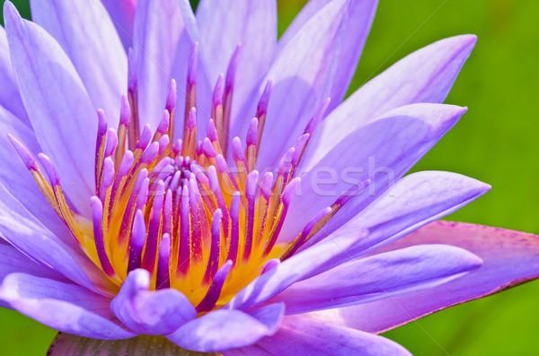 Close up pollen of purple lotus ( Nymphaea Nouchali ) Stock photo © Yongkiet