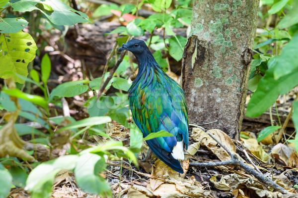Pombo pomba aves viver ilha tiroteio Foto stock © Yongkiet