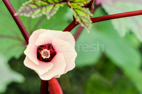 Jamaica flor flor rosa flor árbol hibisco Foto stock © Yongkiet