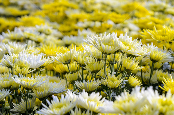 Chrysantheme Blumen Garten Berg Natur Blatt Stock foto © Yongkiet