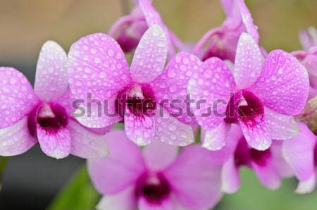 Dendrobium orchid hybrids is white and pink stripes Stock photo © Yongkiet