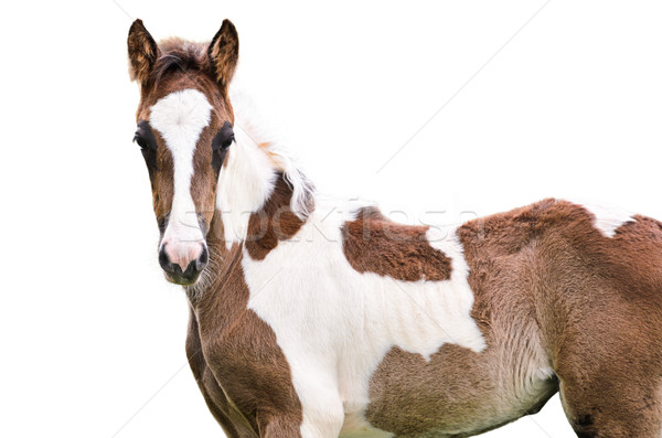 Brown and white horse isolated Stock photo © Yongkiet