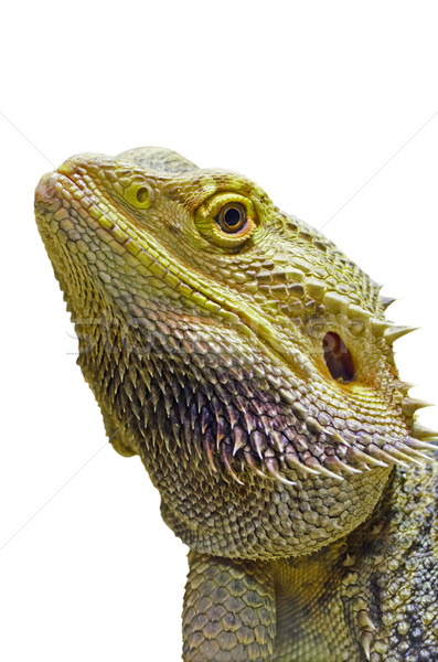 Foto stock: Barbudo · dragão · cabeça · isolado · branco