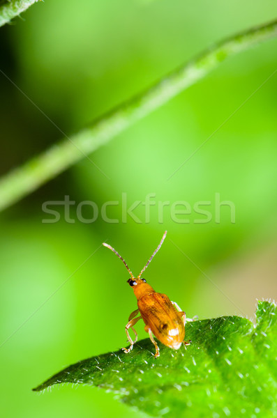 Cucurbit Leaf Beetle or Aulacophora indica Stock photo © Yongkiet