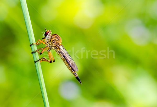Soyguncu uçmak aile haşarat benzer Stok fotoğraf © Yongkiet