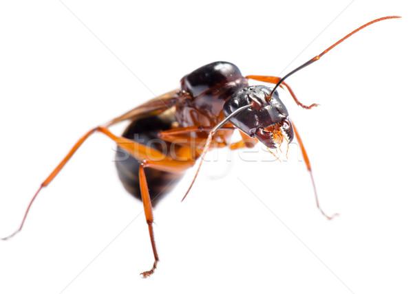 Preto carpinteiro formiga masculino branco Foto stock © Yongkiet