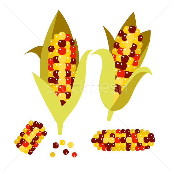 Flint or calico corn vector illustration. Maize ear cob. Stock photo © yopixart